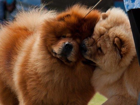 Nhưng nói chung thì Chow Chow rất dễ cưng và rất biết cách thể hiện tình thương mến thương.