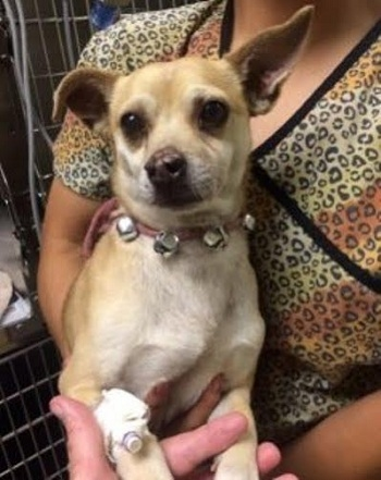 Chú chó Jack được điều trị sau khi bị sốc ma tuý. (Ảnh: Internet)