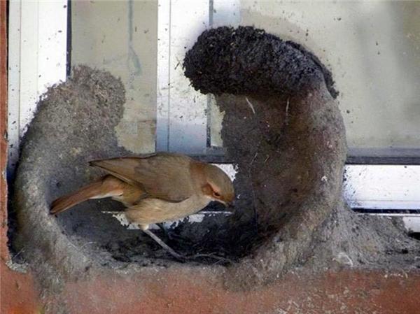 Hình ảnh này ghi lại quá trình tận tụy đắp tổ của cặp đôi chim sẻ lò Nam Mỹ (hay còn được gọi là el hornero - thợ xây nhà). (Ảnh Internet)