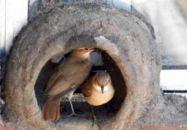 """Tạo hình ban đầu của chiếc tổ đã hoàn tất, cặp đôi chim sẻ lò tiếp tục tiến hành việc """"ngăn phòng"""" bằng cách đắp thêm lối cong hẹp, tạo ra một buồng ấp trứng, lót thêm vào đó cỏ và lông của chim mái. (Ảnh Internet)"""