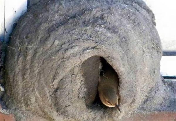 """Sau mỗi mùa giao phối, chim mái chỉ đẻ ra khoảng 3 - 5 trứng. Nếu """"ngôi nhà"""" đủ ấm áp, chỉ 20 ngày sau, trứng sẽ nở thành chim non. (Ảnh Internet)"""