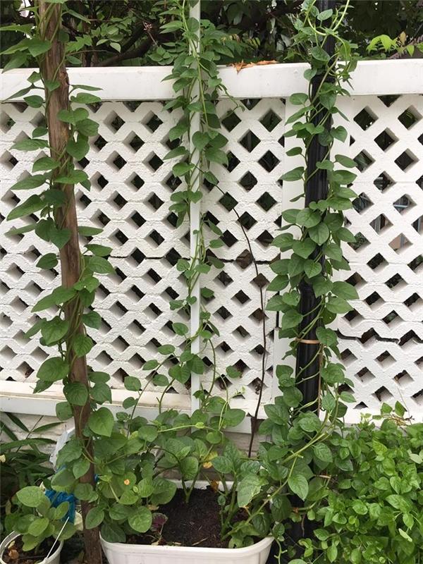 Nữ ca sĩ trồng khá nhiều loại rau củ quả trong vườn nhà như mồng tơi, mướp đắng, cà chua, dưa leo... - Tin sao Viet - Tin tuc sao Viet - Scandal sao Viet - Tin tuc cua Sao - Tin cua Sao