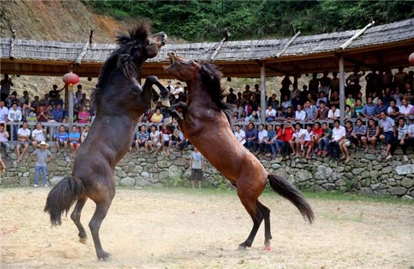 Đấu ngựa là một phần trong lễ hội truyền thống có tuổi đời đến 500 năm.