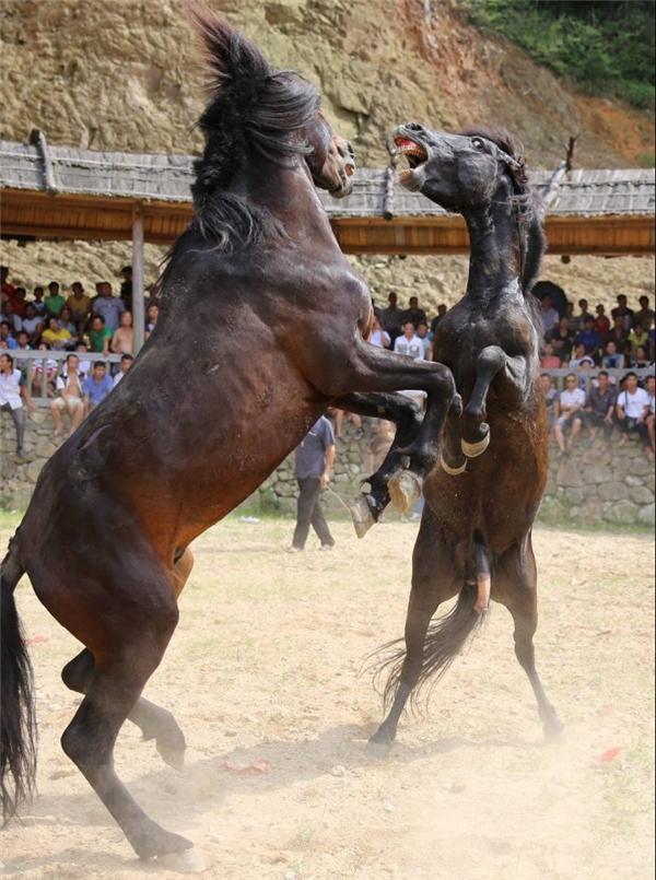 Những chú ngựa đực tấn công lẫn nhau nhằm thu hút ngựa cái.