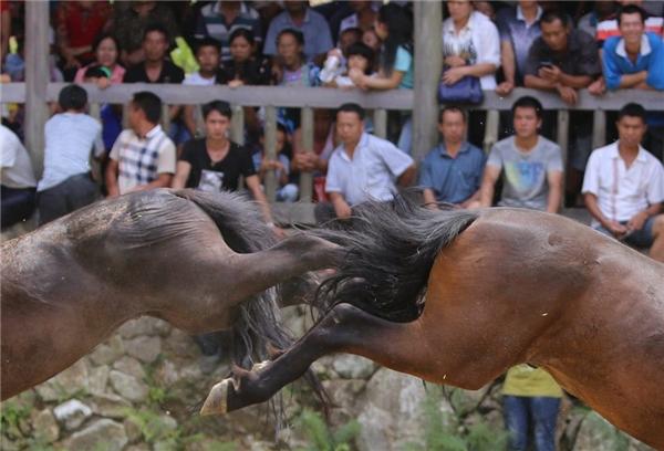 2 con ngựa đang dùng chân sau đấu đá lẫn nhau.