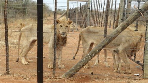 Ảnh chụp cho thấy những con sư tử trong tình trạng suy dinh dưỡng, trông cực kỳ hốc hác.