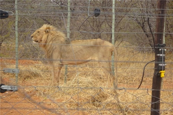 Xót xa bầy sư tử gầy trơ xương bị nuôi làm mồi cho du khách