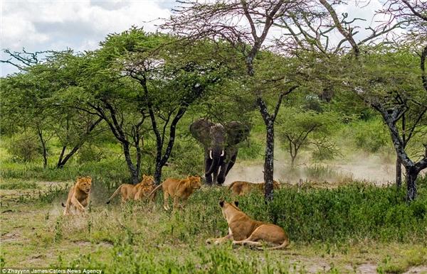 Chuyện thật như đùa: Voi đuổi sư tử.