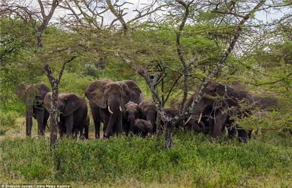 """Đàn voi lo ngại sư tử có thể gây nguy hiểmnên chúng tìm cách """"dằn mặt"""" trước."""