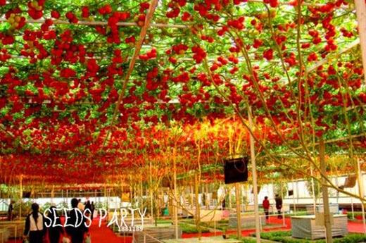Những cây cà chua bạch tuộc này là sản phẩm lai tạo từ một cây cà chua và nho. Thế nhưng nó chỉ lai cách phát triển theo giàn của nho chứ quả thì vẫn nguyên cà chua.