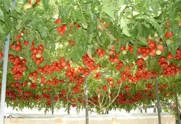 Cành của giống cây Heirloom Tomato này có thể vươn rộng đến 40-50 mét vuôngvà nó mang lại năng suất không tưởng, khoảng hàng chục ngàn quả mỗi năm.