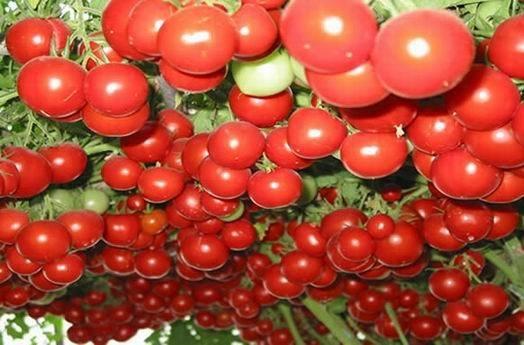 Nguồn gốc của loại cà chua lạ này bắt đầu từ phương Đông. Một cây cà chua trĩu quả thế này được trồng từ 1,2 đến 1,5 năm để có được kích thước ấn tượng.