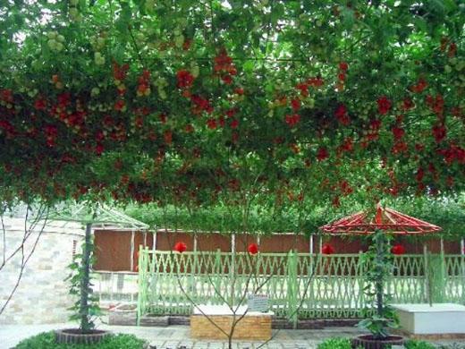 Nó sẽ cho quả ngọt sau 7-8 tháng khi đã phát triển hết tán và cho khoảng hơn 14.000 quả mỗi vụ một cây.