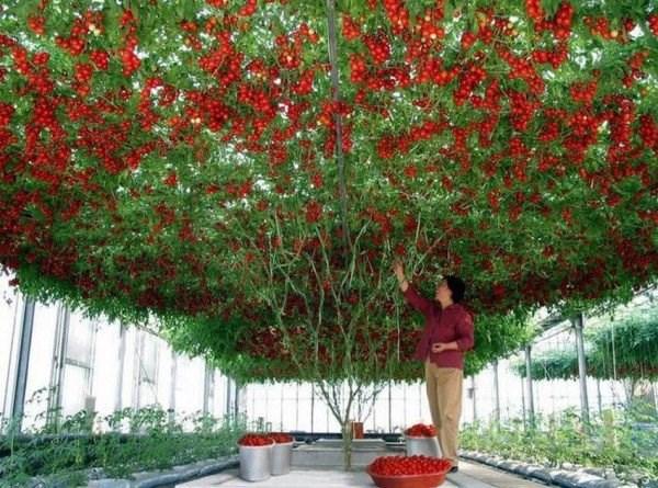 Một số điểm du lịch như Walt Disney, World Resort thậm chí còn trồng cây cà chua này để thu hút khách du lịch. Khu du lịch này thu hoạch cà chua và sử dụng trong các món ăn của họ.