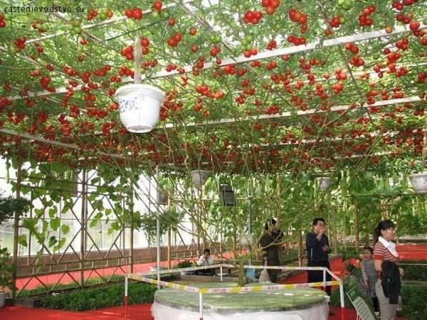 """Du khách đến thăm những cây cà chua này ở khu Walt Disney, World Resort có thể tìm hiểu thêm về chúng bằng cách tham gia chuyến đi tour """"Đằng sau những hạt giống"""" kéo dài 1 tiếng quanh nhà kính và phòng thí nghiệm. Họ sẽ được tận mắt tìm hiểu cũng như nói chuyện với những người chăm sóc."""