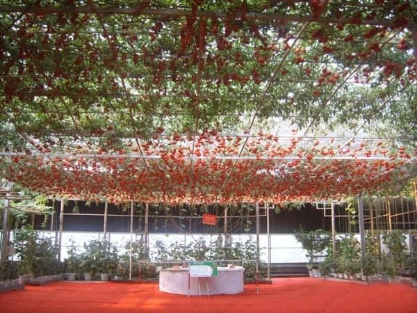 Một trong số hai cây cà chua bạch tuộc được trưng bày ở Epcot đã đạt được kỉ lục Guinness Thế giới với con số ấn tượng là 32.000 quả cà chua với tổng trọng lượng là 522 kg.
