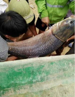 Con cá trắm này được đưa về Hà Nội để tiêu thụ. Ảnh: Internet