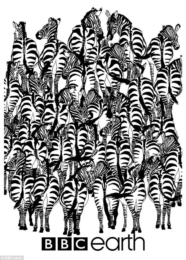 """Con chồn tinh quái đang """"trốn"""" trong bầy ngựa vằn này đấy, bạn có thấy nó đâu không? (Ảnh BBC earth)"""