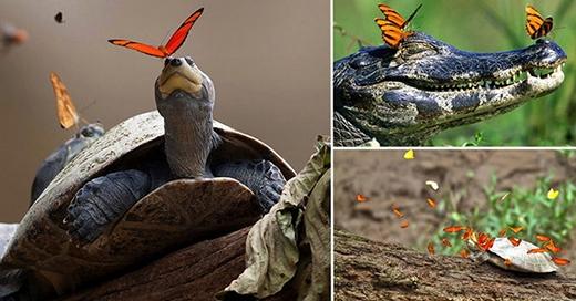 Việc bướm uống nước mắt của rùa hay cá sâu tạo nên hệ cân bằng sinh thái.