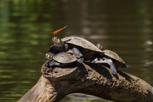 Hiện tượng kì lạ: bướm uống nước mắt của cá sấu