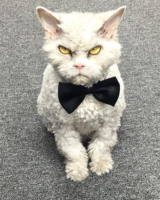 """Được đeo nơ trông """"bảnh tỏn"""" đẹp trai ngời ngời thế mà sao mèo ta lại cáu thế nhỉ?"""