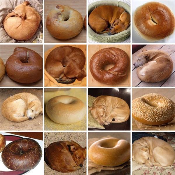 Tư thế nằm của các em khuyển làm người ta liên tưởng đến món bánh mì vòng.
