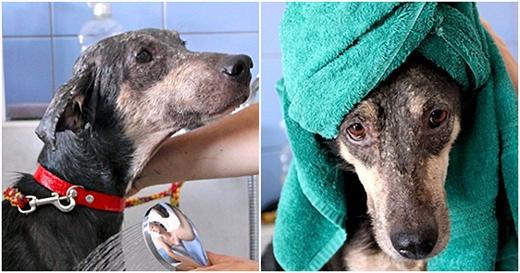 Do bị nhiễm trùng quá lâu, các nhân viên đã phải sử dụng rất nhiều biện pháp trị liệu để phục hồi lại bộ lông ban đầu của chú chó.