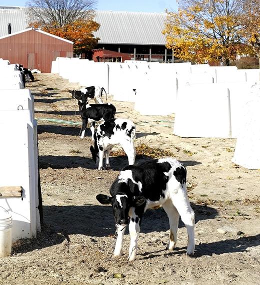 Những chú bê đáng thương chưa kịp bú được dòng sữa mẹ thì đã bị bắt đi để chờ chết hoặc chờ trở thành lứa bò sữa tiếp theo phục vụ cho nông trại. (Ảnh: Shutterstock)