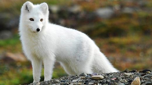 Dù vậy đôi khi cũng có những trường hợp một số con cáo giữ lại màu lông trắng nổi bật.
