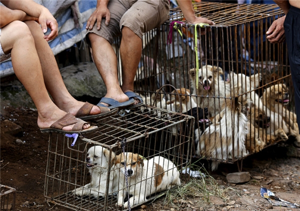 Những chú chó kiểng này có khả năng sống sót nếu được mua về làm thú cưng. (Ảnh: Reuters)