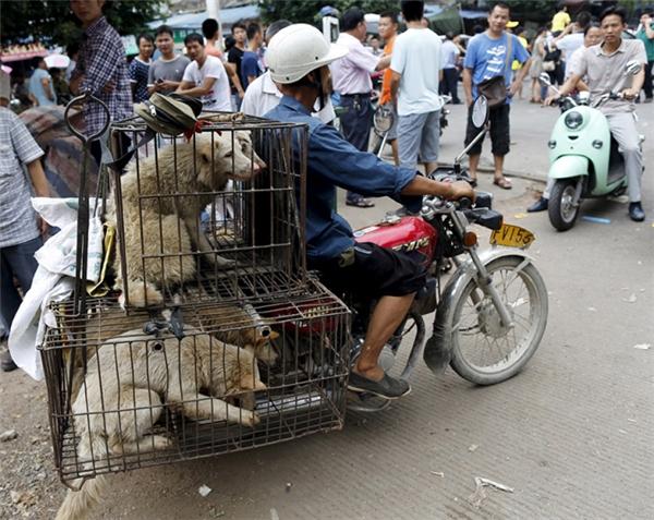 Còn những chú chó đáng thương này sẽ được bán để giết thịt phục vụ lễ hội. (Ảnh: Reuters)