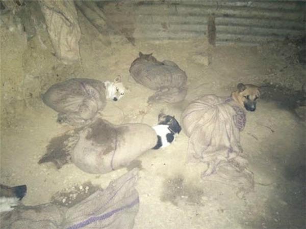 Những chú chó bị bỏ vào bao tải và bị rọ mõm (Ảnh: HSI)