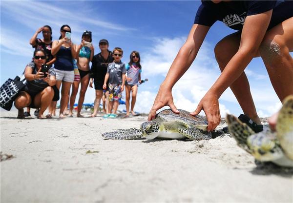 Rùa biển xanh được trả về môi trường sống của chúng tạivùng biển Florida của Miami Seaquarium bởi những ngườinhân viên chăm sóc động vật ở Key Biscayne, Florida.(Ảnh: Joe Raedle)