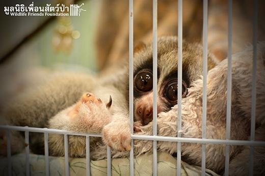 Sau khi được chăm sóc y tế và bình phục hoàn toàn, Chin sẽ được trả về tự nhiên để tiếp tục cuộc sống bình thường bên cạnh đồng loại của mình.