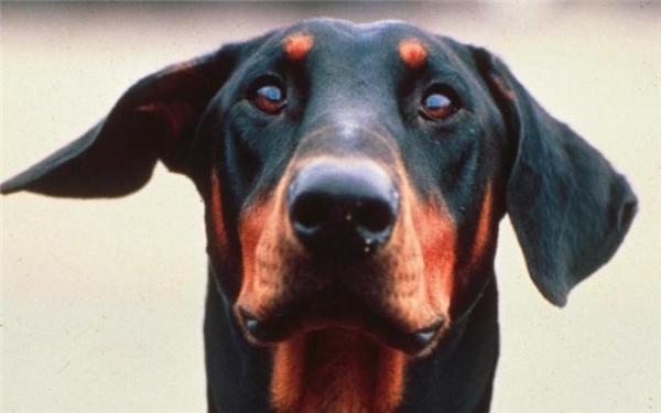 Ảnh minh họa chú chó Doberman. (Nguồn Internet)