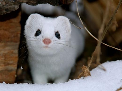 Nhưng khi nhiệt độ hạ xuống, bộ lông của chúng tự chuyển sang màu trắng.