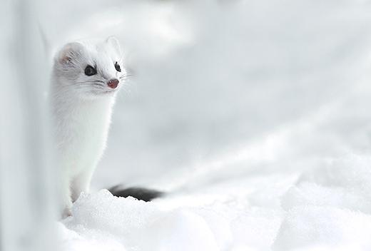 Tan chảy trước vẻ đẹp của loài chồn tuyết của miền băng giá