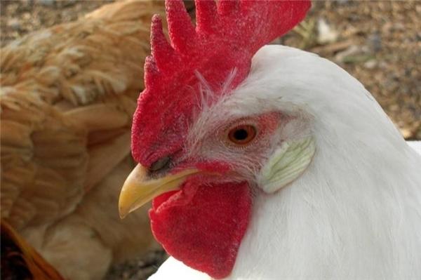 Những cô gàm mái lôngvà tai trắng sẽ đẻ ra những quả trứng có màu trắng.