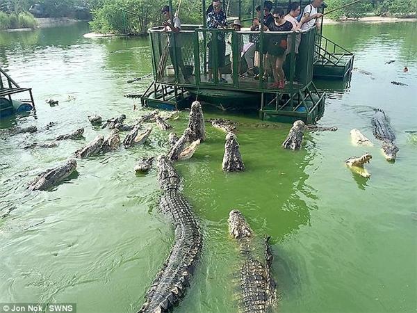 Cả bầy cá sấu con nào con nấy đều dài khoảng 3m kéo đến trước bè và hung hãn giành mồi của nhau.