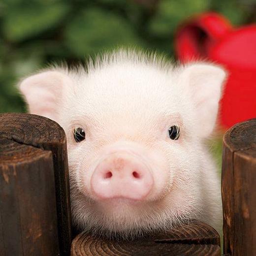 Heo con là một trong những động vật dễ thương nhất lúc còn nhỏ.