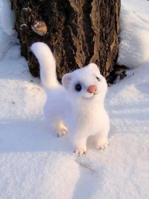 Có ai muốn nuôi con chồn tuyết dễ cưng này không?
