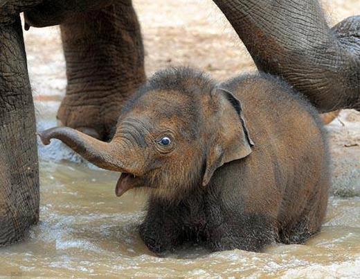 Chú voi con ở bản đôn,chưa có ngà nên còn dễ cưng.