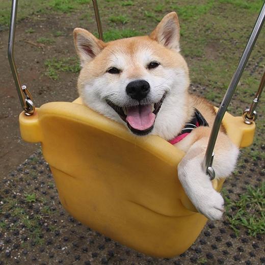 Lần nào đi dạo Uni cũng được chủ cho đi chơi xích đu tại công viên,cô nàngrất sung sướng và háo hức.