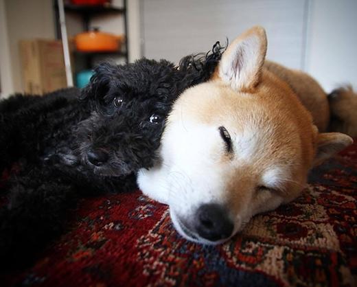 Chết giấc với em Shiba dễ cưng mê chinh phục xích đu