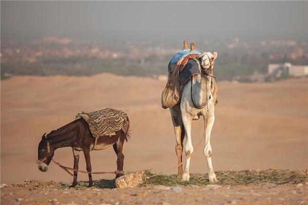 Sốc nặng với số phận của những chú ngựa và lạc đà ở Ai Cập