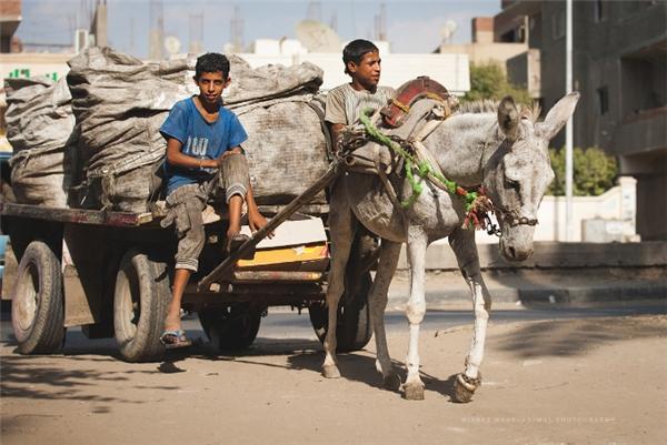 Thực tế, ngựa và lạc đà ở đâyphải kéo xe qua sa mạc cát sâu đến 20 giờ mỗi ngày mà không được ăn no, thậm chí còn bị bỏ đói.