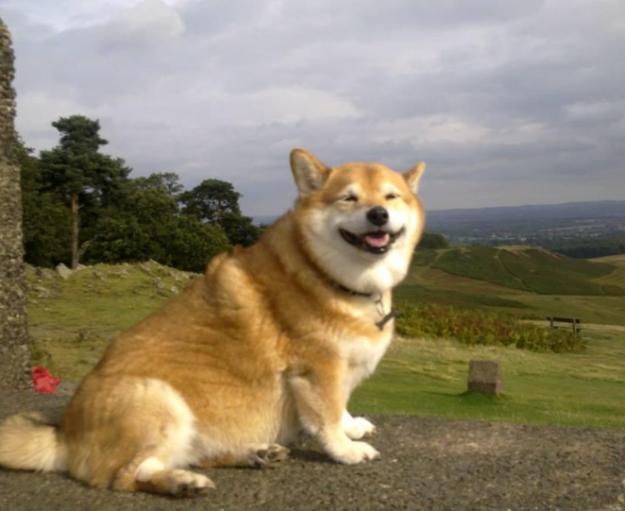 Shigi (Shiba Inu + Corgi): Dù chân vừa ngắn, mình lại vừa béo nhưng em cún này vẫn giữ được nét mặt lạc quan, hớn hở, yêu đời của Shiba. (Ảnh: SoLikeHai)