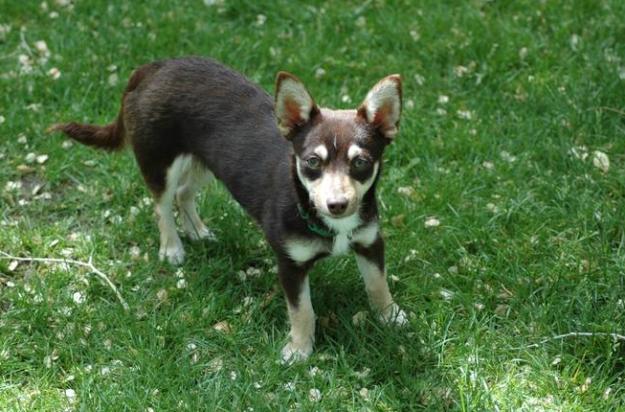 Cohuahua (Corgi + Chihuahua): Cái đầu nhỏ xíu trông có vẻ không được tỷ lệ với cái lưng dài thì phải. (Ảnh: AllOfTheShortUserNamesWereTaken)