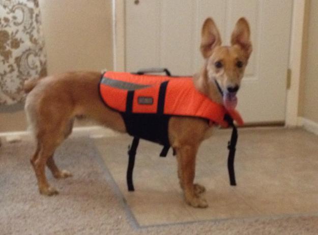 Greygi (Greyhound + Corgi): Hình như là lưng dài vượt chuẩn áo mất rồi. (Ảnh: GhostsofDogma)
