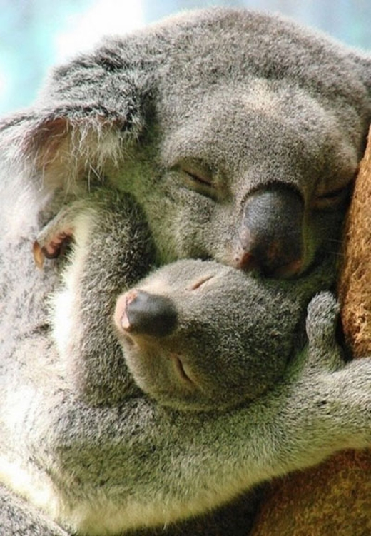 Tình mẫu tử đâu chỉ có ở riêng loài người. Hình ảnh gấu koala mẹ ôm con tuy có vẻrất đời thường nhưng lại chứa mộtý nghĩa thiêng liêng.